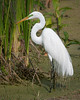 This Great Egret has its breeding plumage.