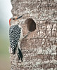 The Red-bellied Woodpecker is checking out its old nest.