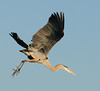 • Great Blue Heron<br /> • She said to get some more nesting material, and I do what she says!