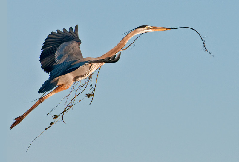 • Great Blue Heron<br /> • That is one stretched out Heron!