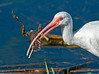 • White Ibis<br /> • This is quite a catch!  I don't know how he's going to eat it.