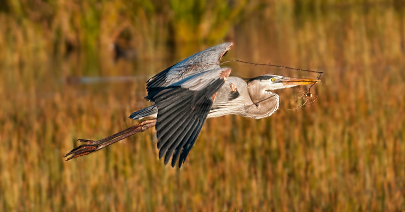 • Great Blue Heron<br /> • He's returning to the nest with some nesting material