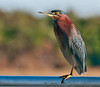 • Green Heron<br /> • Just keeping an eye on what we are doing!