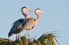 • Great Blue Heron<br /> • Soon to be a proud set of parents.