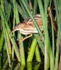 • Location - Viera Wetlands<br /> • Least Bittern maneuvering between the reeds