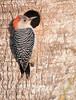• Location - Viera Wetlands<br /> • Female Red-bellied Woodpecker - Is anybody home?