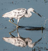 • Dan's Click Ponds<br /> •Immature Little Blue Heron with a tiny fish