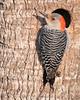 • Location - Viera Wetlands<br /> • Female Red-bellied Woodpecker
