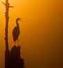 • Location - Viera Wetlands<br /> • Foggy sunrise with a silhouette of a Great Blue Heron