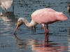 • Dan's Click Ponds<br /> • Roseate Spoonbill looking for something to eat