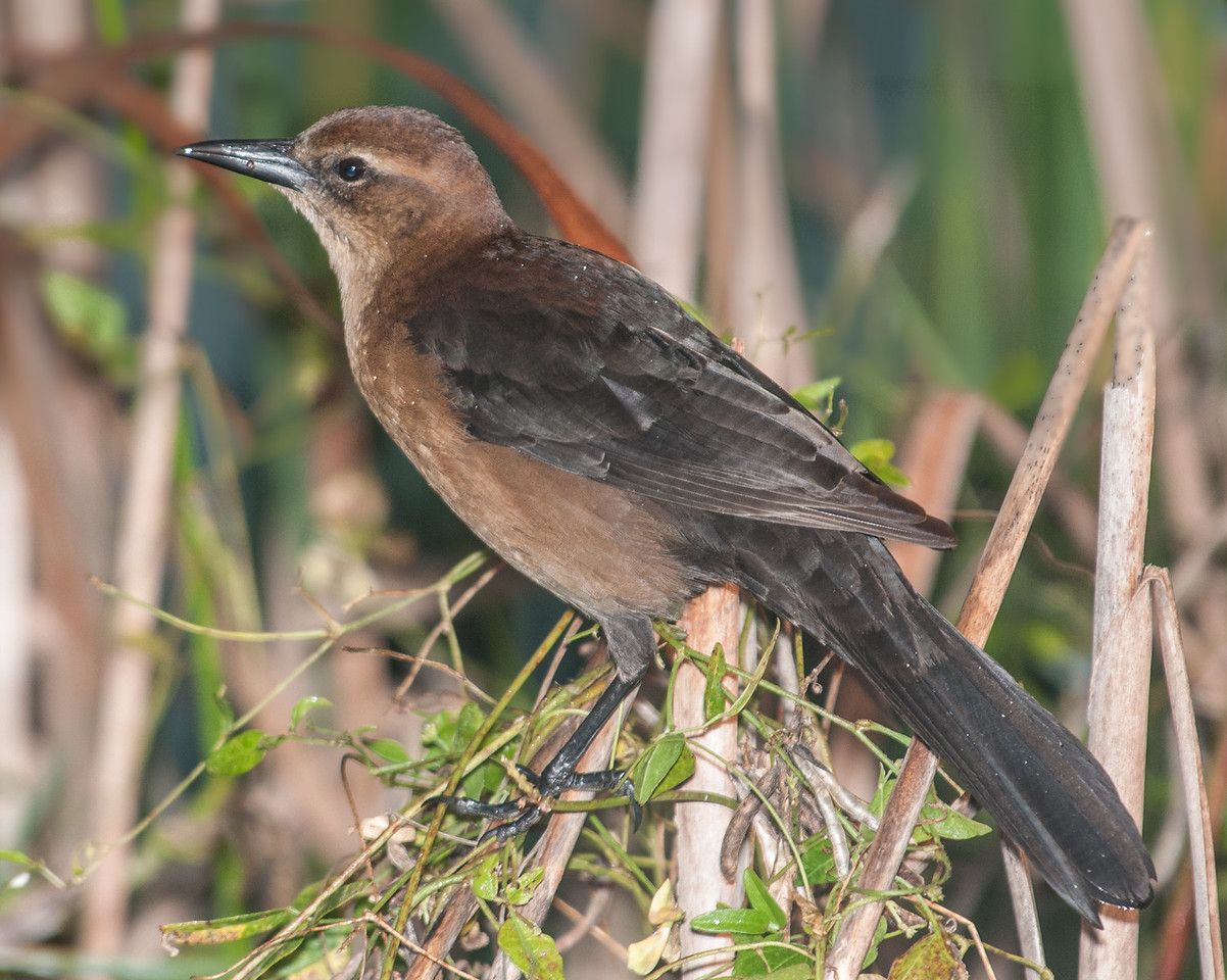 • Dan Click Ponds<br /> • Female Boat-tailed Grackle