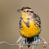 • Moccasin Island Track<br /> • Eastern Meadowlark barely holding on