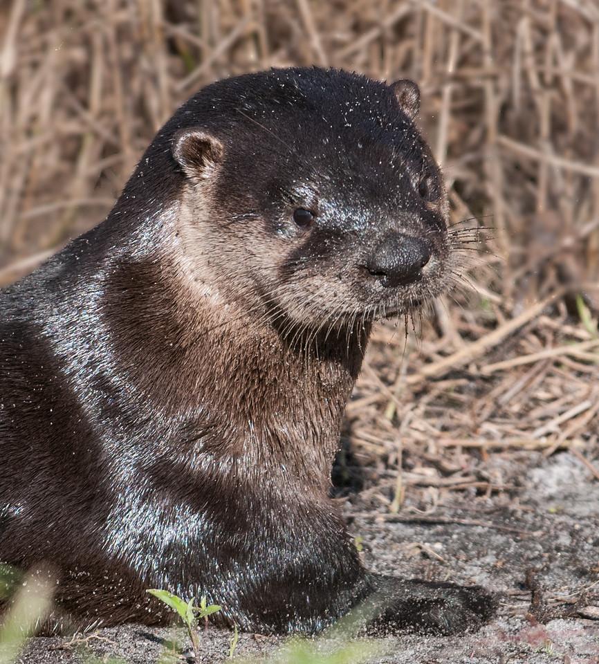 • Viera Wetlands<br /> • Otter