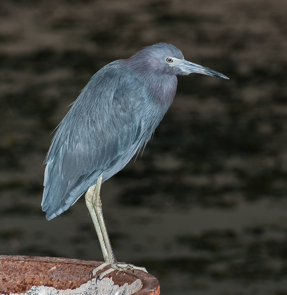 • Dan Click Ponds<br /> • Little Blue Heron