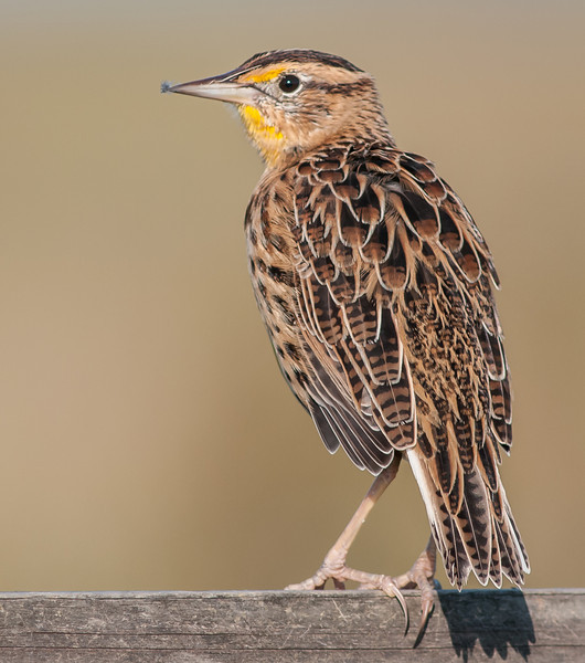 • Moccasin Island Track<br /> • The stuff at the end of Meadowlark's beak is material from where it was preening itself.