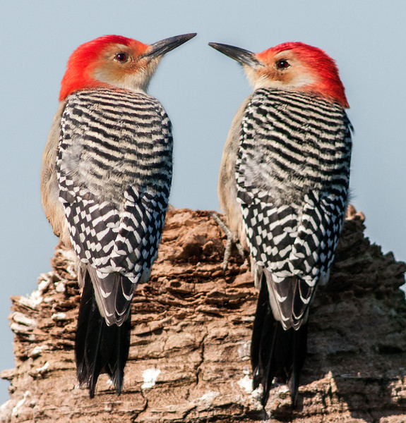 • Viera Wetlands<br /> • A pair of Red-bellied Woodpeckers