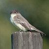 • Moccasin Island Track Road<br /> • Eastern Phoebe