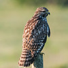 • Moccasin Island Track Road<br /> • Red-shouldered Hawk