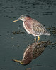 Green Heron with its reflection