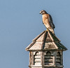 A Red-shouldered perched on top of the gazebo