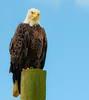 I took this photo of Bald Eagle at Canoe Creek Rd in Kenansville, Fl.