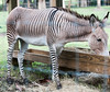 Zedonk - It's half Zebra and half Donkey