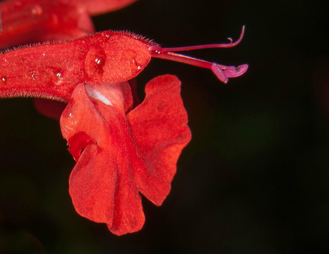 Tropical Sage - Salvia coccinea