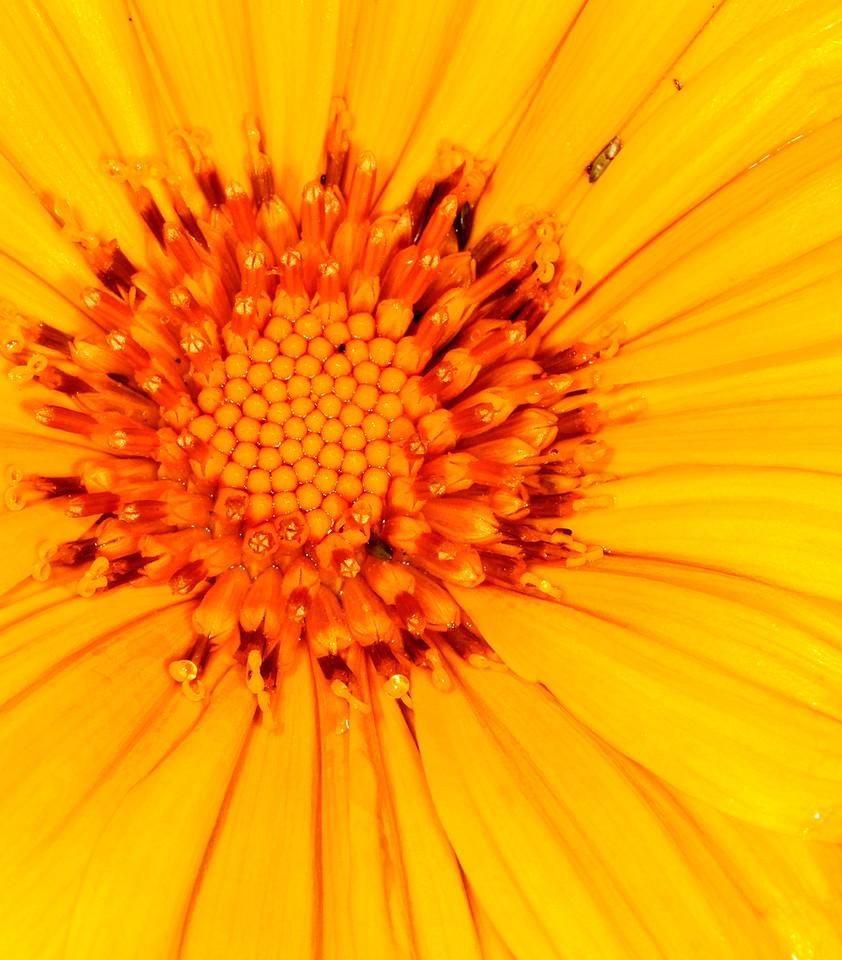 Narrow-leaved Sunflower