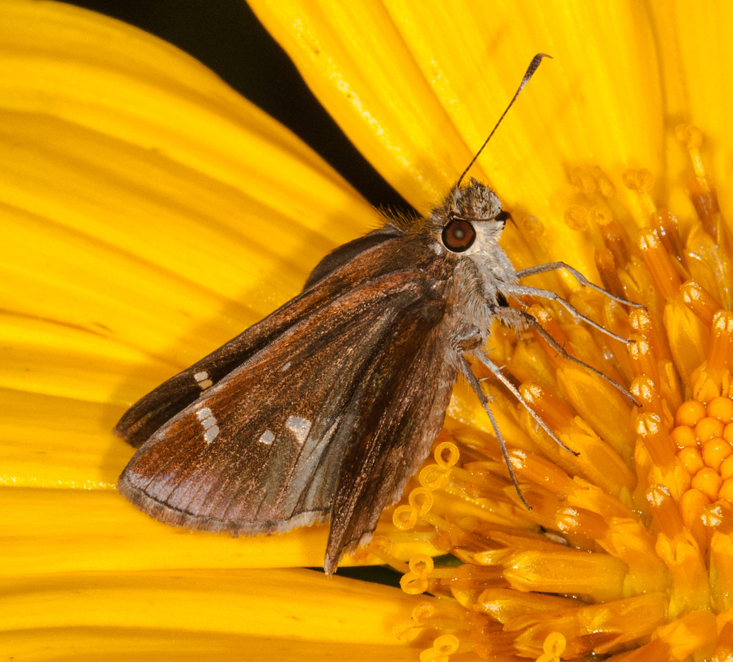 Monk Skipper Moth