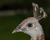 Close-up of a Peahen