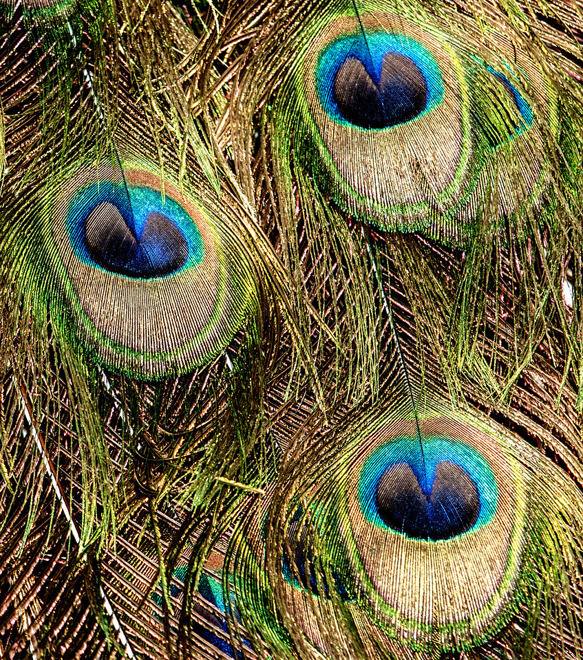 Close-up, of Peacock's feathers