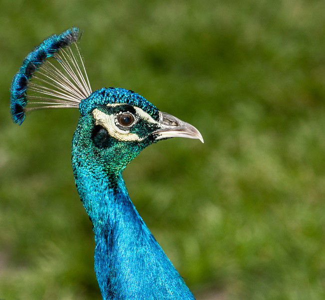 Close-up of blue Peacock