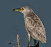 • Location - Viera Wetlands<br /> • Juvenile Black-Crowned Night Heron