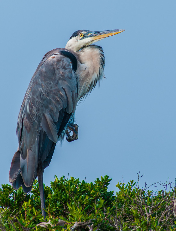 • Location - Bio Lab Road at the Merritt Island National Wildlife Refuge<br /> • A majestic looking Great Blue Heron
