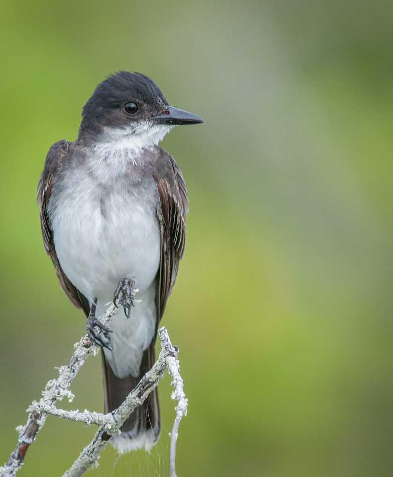 • Location - Bio Lab Road at the Merritt Island National Wildlife Refuge<br /> • Eastern Kingbird