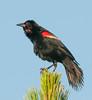 • Location - Viera Wetlands<br /> • Red-winged Blackbird