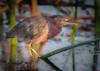 • Location - Viera Wetlands<br /> • Green Heron