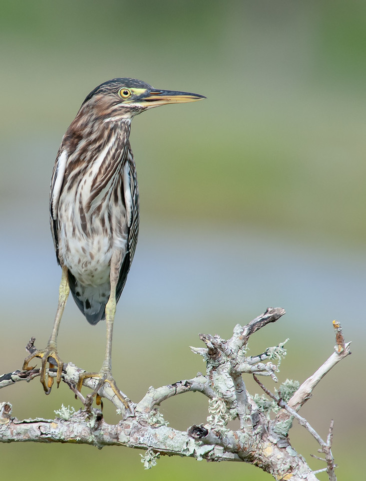 • Location - Bio Lab Road at the Merritt Island National Wildlife Refuge<br /> • Green Heron