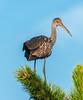 • Location - Viera Wetlands<br /> • Limpkin
