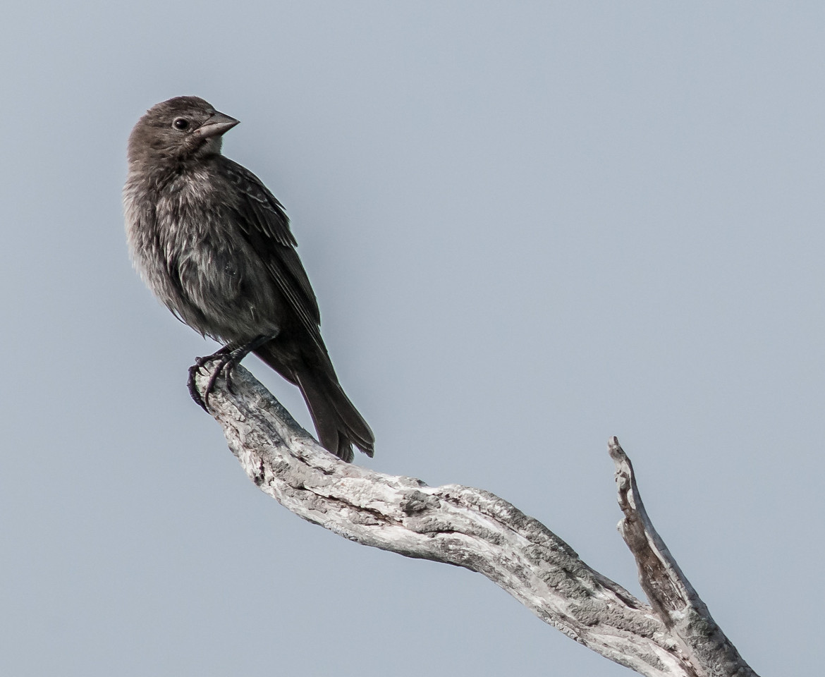 • Location - Bio Lab Road at the Merritt Island National Wildlife Refuge<br /> • Brown-headed Cowbird