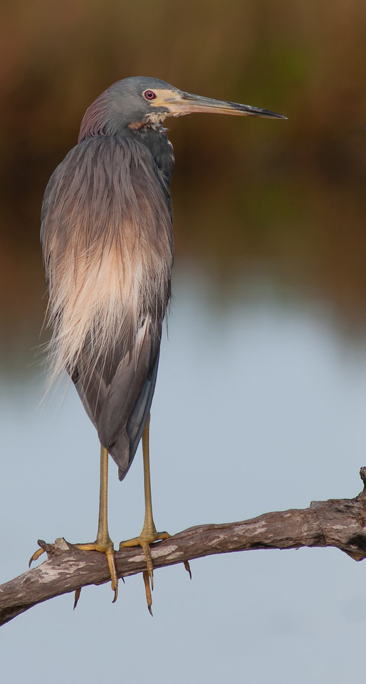 • Location - Bio Lab Road at the Merritt Island National Wildlife Refuge<br /> • Tri-colored Heron