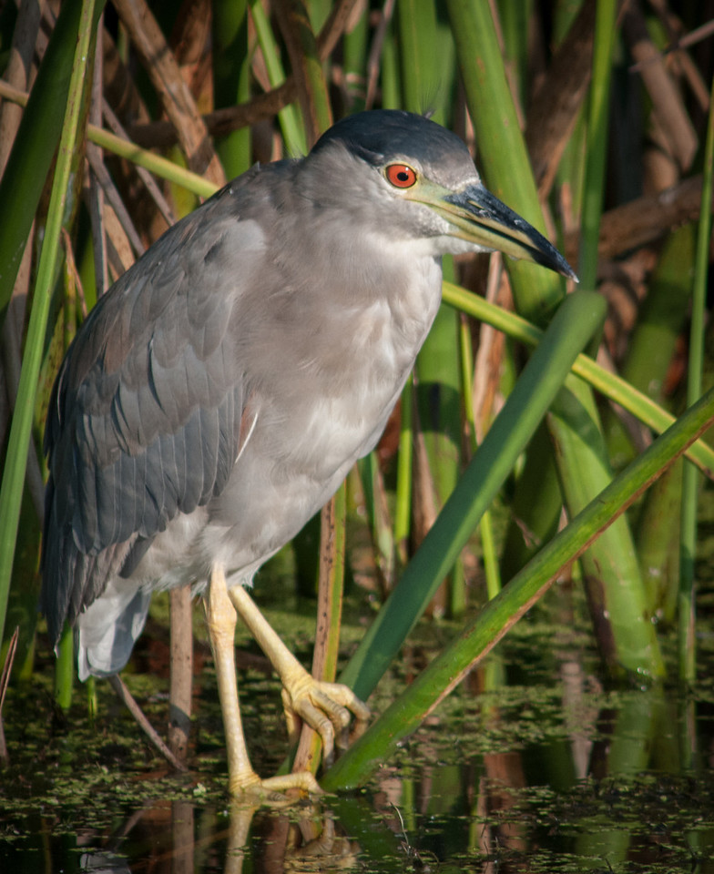 • Location - Viera Wetlands<br /> • Black-Crowned Night Heron