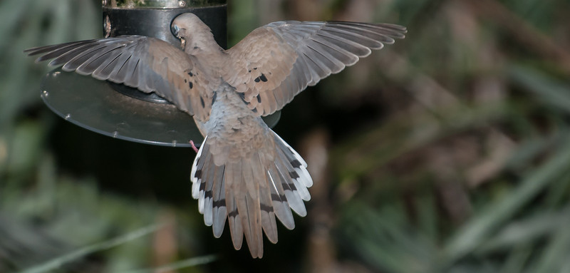 • Location - Green Cay Wetlands<br /> • Mourning Dove eating out a feeder
