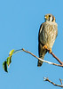 • Location - Wellington Environmental Reserve<br /> • American Kestrel