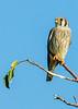 • Location - Wellington Environmental Reserve<br /> • American Kestrel