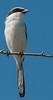 • Location - Wellington Environmental Reserve<br /> • Loggerhead Shrike