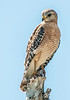• Location - 50th St. in Wellington <br /> • Red-shouldered Hawk