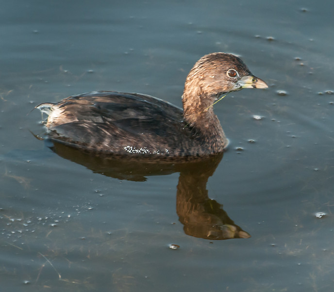 • Location - Green Cay Wetlands<br /> • Pied-billed Grebe