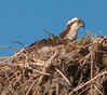 • Blue Cypress Lake<br /> • Mrs Osprey is just keeping those eggs warm
