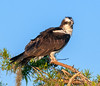 • Blue Cypress Lake<br /> • I guess Mrs Osprey had a bad feather day?